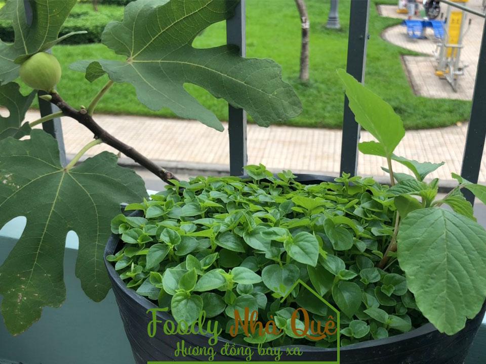 cách trồng rau càng cua